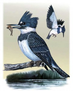 Belted Kingfisher. ©Houston Audubon Society.