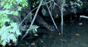 Otter emerging from its den on a tributary of Buffalo Bayou. Photo courtesy of Dewey Stringer.