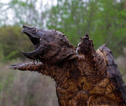The alligator snapping turtle lives in Buffalo Bayou. It is listed as threatened in Texas.