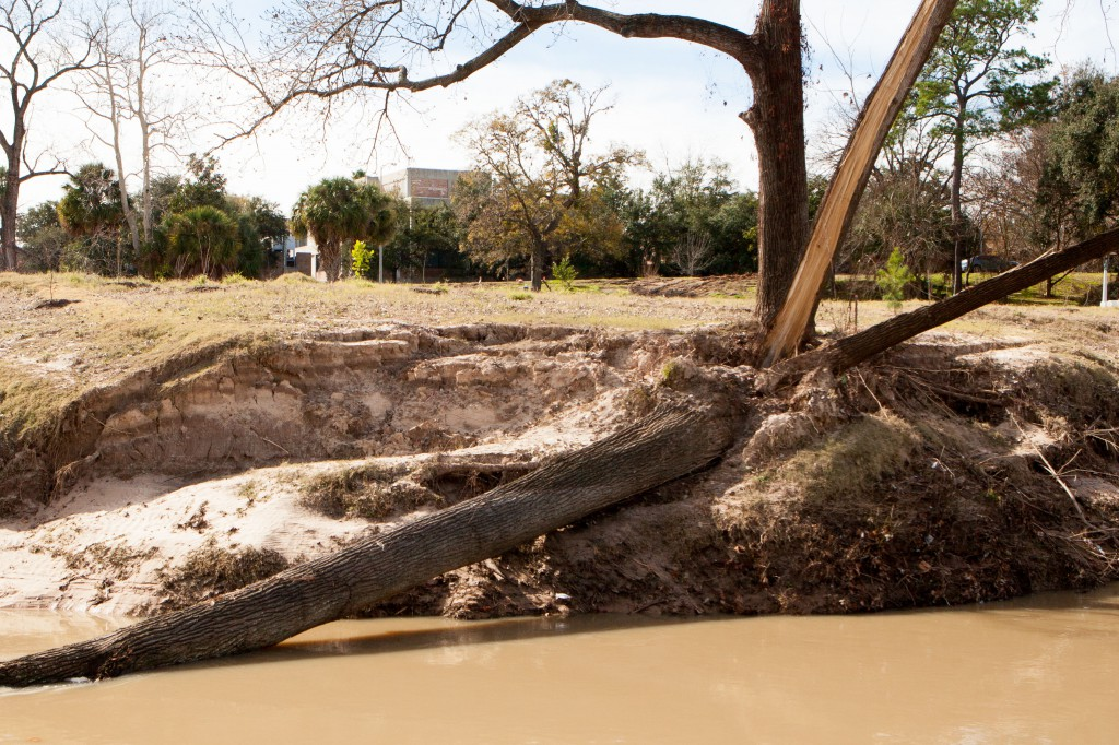 "Cottonwood downed on south bank west of Waugh by undercutting of banks in Buffalo Bayou Park ""restored"" by the Harris County Flood Control District. Several more mature trees have been lost since this photo was taken Jan. 26, 2015, by Jim Olive."