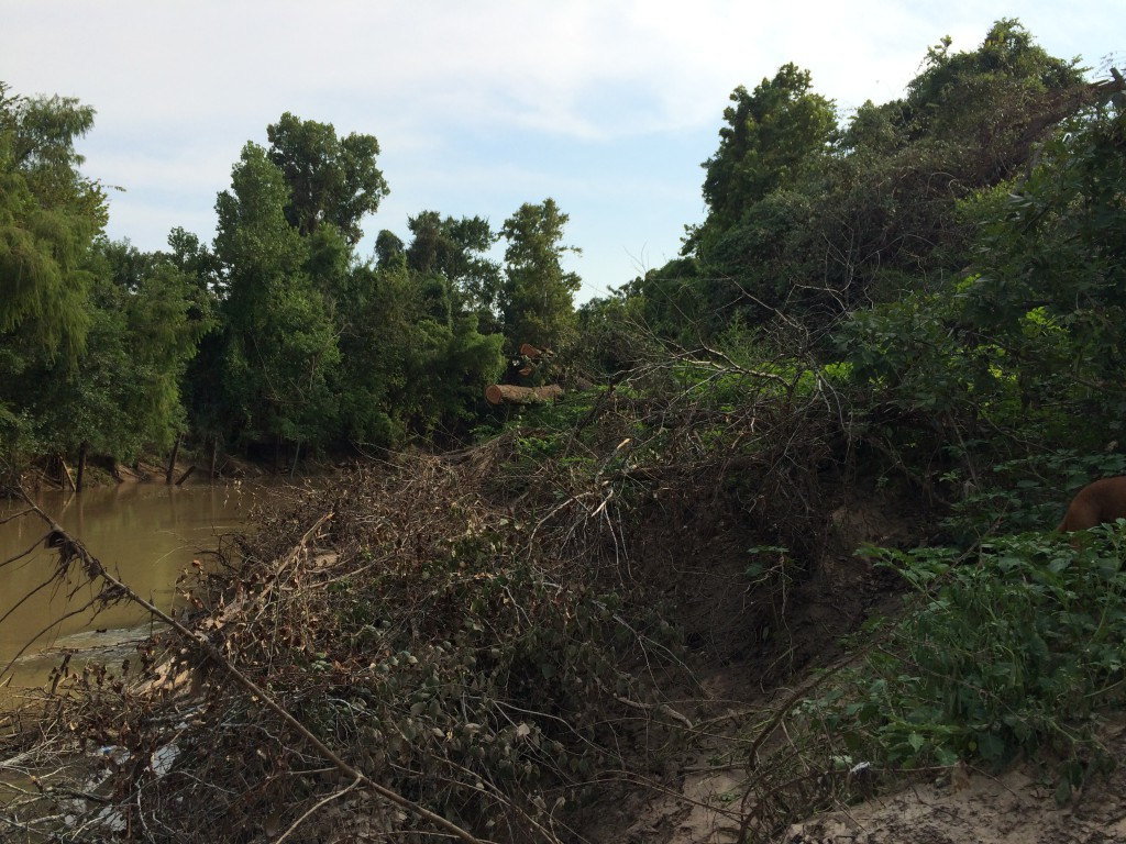 Fallen trees on a bank of Memorial Park that should be left in place to collect sediment and restore the banks. Photo taken Aug. 27, 2015, by Bill Heins.
