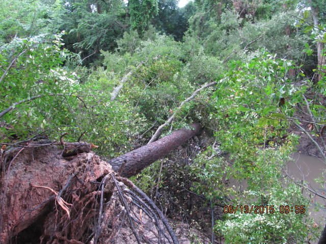 Tree on private property downed by extended high water releases from Buffalo Bayou dams in June 2015. Photo courtesy of Don Jones.