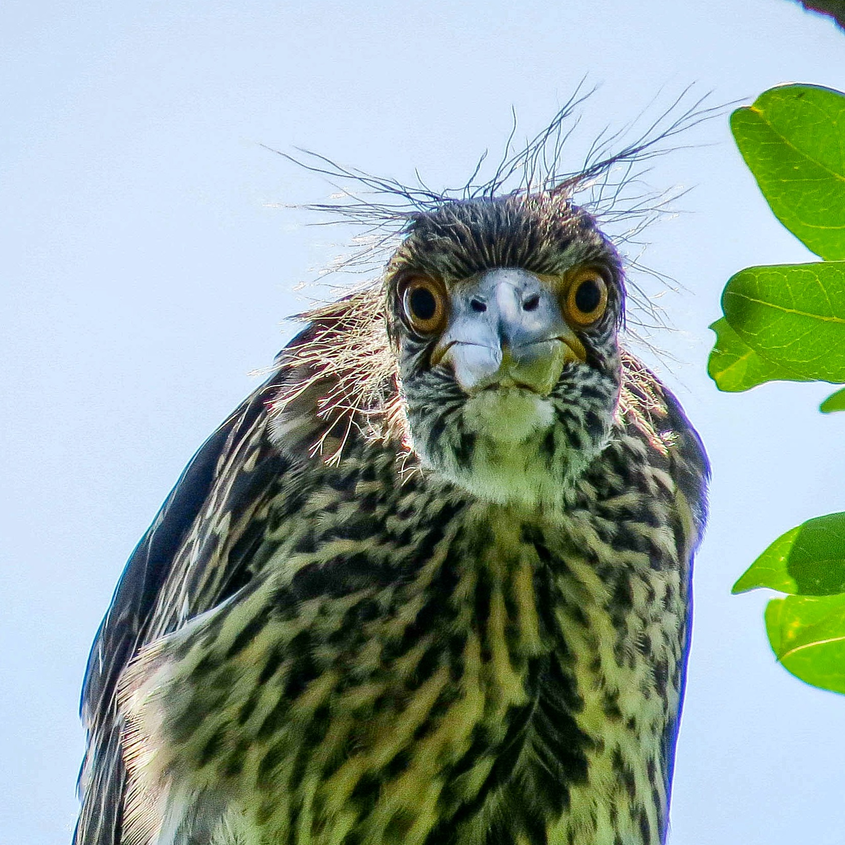 Juvenile yellow-crowned night heron pondering whether to fly or stay in the nest as long as possible. Photo on May 20, 2016, by Allison Zapata.