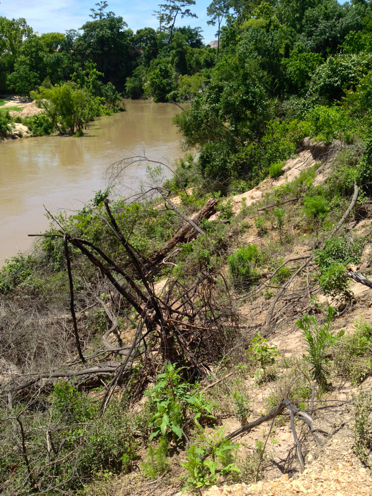 The south-facing high bluff of the Hogg Bird Sanctuary on May 9, 2016, at neear maximum flow from the dams upstream. The slumped slope, which took out a gravel path, is in the process of naturally rebuilding, using brush and collected sediment, and now resembles the slope that the Harris County Flood Control District wanted to build with bulldozers and millions in taxpayer funds in the Memorial Park Demonstration Project.