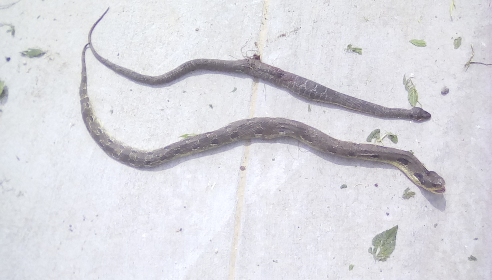 Two snakes recently killed in a residential neighborhood on Buffalo Bayou were not venomous.